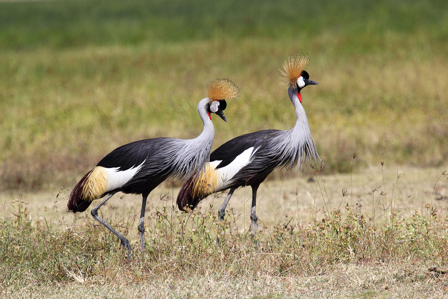 couple-of-grey-crowned-cranes-xl